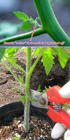 Very detailed instructions on how to grow a better tomato plant.: Very detailed instructions on how to grow a better tomato plant. Growing Veggies, Growing Tomatoes, Growing Plants, How To Grow Tomatoes, Veg Garden, Edible Garden, Lawn And Garden, Vegetable Gardening, Garden Tomatoes
