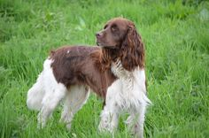 French Spaniel | 2puppies.com