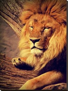 Stretched Canvas Print: Lion Wildlife Cat Animal Africa by Wonderful Dream : 32x24in