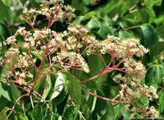 Les plantes pour un jardin favorable aux abeilles : l'arbre à miel ou arbre aux cent mille fleurs
