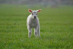 Agneau, Moutons, Ferme, Des Animaux
