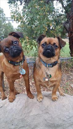 My two Petit Brabancons - Gigi and Cleo