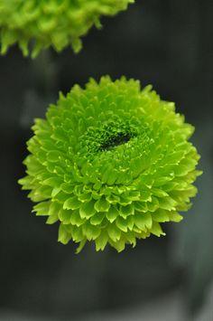 Green little chrysthanthmum