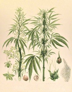 hemp botanical