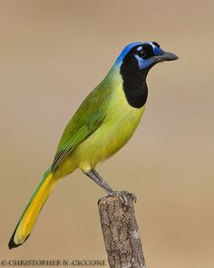 Green Jay by Christopher Ciccone on 500px