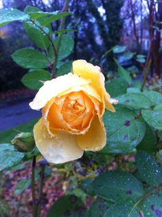yellow rose. rain water.