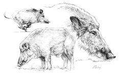 great black forest carved wood wild boar - in the manner of peter burri Animation Sketches, Drawing Sketches, Animal Sketches, Animal Drawings, Pig Sketch, Larp, Hog Dog, Black Forest Wood, Boar Hunting