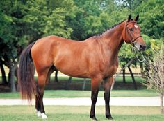 The Dutch Warmblood Horse of Holland is used for all European riding disciplines. Dutch Warmblood, Warmblood Horses, Thoroughbred Horse, Dressage, Tennessee Walker Horse, Pets 3, Horse World, Barn Plans, Horse Love