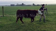 Fabb Herd Polled Herefords offers good selection of Polled Hereford Bulls for sale from a wide range of genetics. Fabb 1 Noak is one of such Polled Hereford Bulls available for sale. We are happy to arrange fertility testing for any of the Polled Hereford Bulls we have for sale. For more information, please contact us. Fabb Herd Polled Herefords, Wilson Orchard Farm, Fenside Road, Warboys, Cambs, PE28 2TY, Tel 01487 822224, Mobile: 07584 035080, http://fabbherd.com/, E-mail…