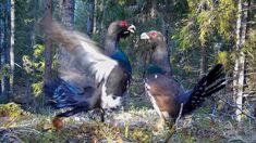 Taistelevat metsot (metson soidin) Fighting capercaillies (grouse lek)