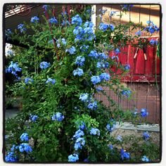 Cape plumbago on a rebar trellis and an old door to hang tools in the garden of @michelegranger