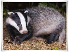Animal Badger - Yahoo Image Search Results