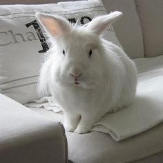 Ice, the white bunny with blue eyes