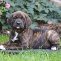 Sparkle, Boxer Mix Puppy Boxer Mastiff Mix, Boxer Puppies For Sale, Brindle Boxer, Bull Terrier Dog, Terrier Mix, Dog Mixes, Labrador Retriever Dog, Happy Animals, Baby Cats