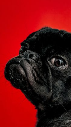 Pug❤︎#animals #dogs #photography