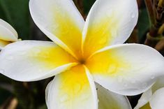 Sunshine Plumeria | Hawaii Pictures of the Day