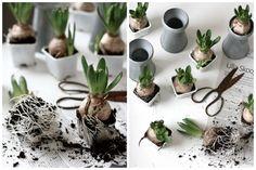 Cebulkowe aranżacje. Sezon na krokusy i hiacynty. Styling with flower bulbs