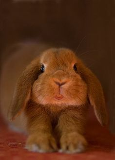 looks just like my first bunny...his name was Munch, he traveled places with me  I loved him dearly