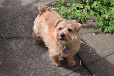 Our little Norfolk terrier, hand-stripped.  Very proud, he is!
