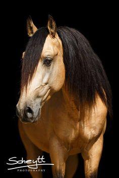 Lusitano Stallion. Beautiful buckskin!