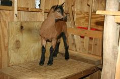 Oberhasli goat kid