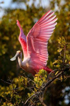 Roseate Spoonbill : Roseate Spoonbill (Platalea ajaja) Ding Darling NWR - Sanibel Island, Florida : Nate Zeman - Photography