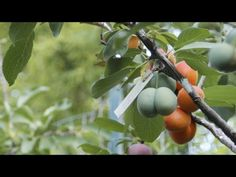 This Crazy Tree Grows 40 Kinds of Fruit | http://gracevine.christiantoday.com/video/this-crazy-tree-grows-40-kinds-of-fruit-4682