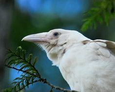 The White Ravens of Qualicum Beach