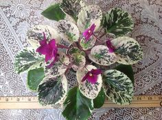 African Violet Macs Virtually Velvet | eBay Mac's Virtually Velvet (8754) 08/31/1998 (G.McDonald) Semidouble coral red/blue overlay. Variegated green, pink and white, ovate, serrated. Semiminiature