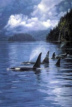 Beautiful! Keep Orcas in the wild. Boycott Sea World!!