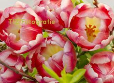 #Tulpen, #rood, #wit, #bloem, #knop, #Tulips, #red, #white, #flower bud Flowers, Plants, Tulips, Plant, Royal Icing Flowers, Flower, Florals, Floral, Planets