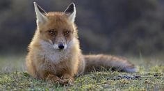 red fox nature samsung note5 wallpaper download