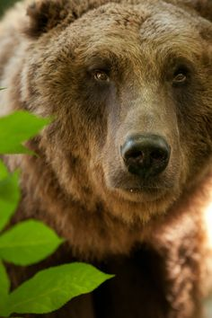 """/ Photo """"Durch die Hecke"""" by Sven Dannhäuser Ours Grizzly, Grizzly Bears, Animals Beautiful, Cute Animals, Wild Animals, Baby Animals, Love Bear, Bear Art, Mundo Animal"""