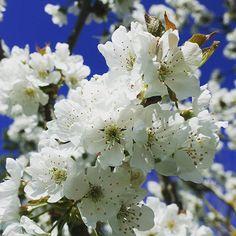 Cerisier en fleurs à Brin de Cocagne - Chambre d'hôtes écologique de charme dans le Tarn près d'Albi - Brin de Cocagne