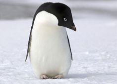 Why Don't Penguins' Feet Freeze on Ice?