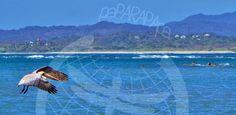 Pelícano volando raso sobre el mar. Punta Guiones. Costa Rica.