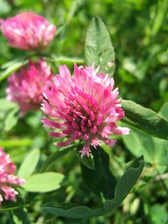 Nibbling on Nature: Experiments with Red Clover