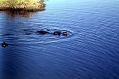 Florida Memory - Otters at the Merritt Island National Wildlife Refuge - Brevard County, Florida