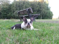 Pied French Bulldog, Boston Terrier, Dogs, Pictures, Blue, Animals, Photos, French Bulldog, Boston Terriers