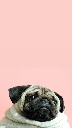 Pug wallpaper I just love it Dog Wallpaper Iphone, Tier Wallpaper, Animal Wallpaper, Dog Lockscreen, Pugs Tumblr, Animals And Pets, Cute Animals, Pug Love, Cute Wallpapers