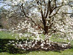Yulan Magnolia, Tulip Tree (Magnolia denudata)
