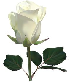 white rose with stem png transparent clip art image gallery rh pinterest com black and white rose clip art free white rose clipart png