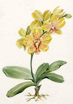 "Joy Waldman   WATERCOLOR ""Phalaenopsis Kenneth Wong II"""