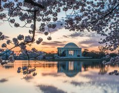 Cherry Blossom Sunrise by Ceasar Sharper. The blossoms frame the Jefferson Memorial in Washington D.C.