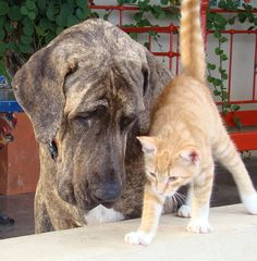 The Fila Brasileiro also known as the Brazilian Mastiff is a large working breed of dog developed in Brazil. Great Dane Dogs, I Love Dogs, Pet Dogs, Dog Cat, Doggies, Animals Beautiful, Cute Animals, Unusual Dog Breeds, What Kind Of Dog