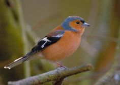 Spotted at Afton Grove - Common Chaffinch