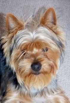 My beautiful Yorkie Yorkshire Terriers, Yorkies, Animal Rights, Puppies, Dogs, Animals, Beautiful, Yorkshire Terrier, Animales