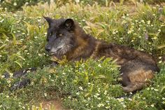 Mackenzie Valley wolves inhabit much of western Canada and Alaska including Unimak Island.  In 1995-96, they were brought from Canada to restore populations  in Yellowstone National Park and central Idaho.