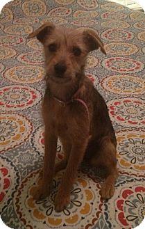 Santa Barbara Ca Yorkie Yorkshire Terrierjack Russell Terrier