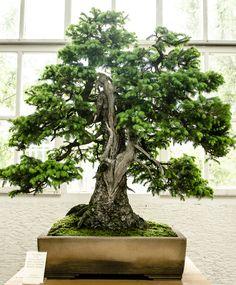 200 Jahre alte Fichte - Picea abies als Bonsai-Baum
